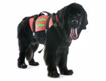 Rescue newfoundland dog. In front of white background stock image