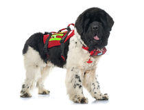 Rescue newfoundland dog Stock Images