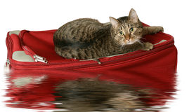Rescue on a raft. Cat on a suitcase with water reflection on a white background Stock Image