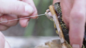 Rescue River turtle. At River turtle pulled from jaws of a fish hook stock footage