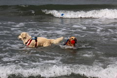 Rescue at sea with dogs. Images of dogs that rescue swimmers in difficulty Royalty Free Stock Photos