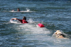 Rescue at sea with dogs. Images of dogs that rescue swimmers in difficulty Royalty Free Stock Image