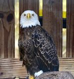 Rescued American Bald Eagle: Pose #1. This is a picture of a rescued American Bald Eagle at the Boyd Hill Nature Preserve located in St. Petersburg, Florida in royalty free stock image