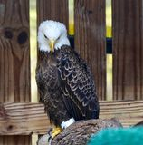 Rescued American Bald Eagle: Pose #3. This is a picture of a rescued American Bald Eagle at the Boyd Hill Nature Preserve located in St. Petersburg, Florida in royalty free stock images
