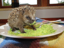 Rescued baby hedgehog. Eats avocado on a plate royalty free stock photos