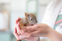Rescued baby squirrel. In human hands royalty free stock photo