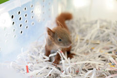 Rescued baby squirrel. In veterinary stock images