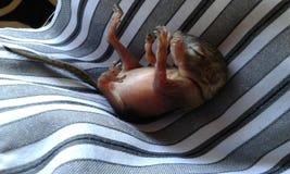 Rescued behandla som ett barn ekorren Royaltyfria Bilder