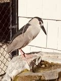 A Rescued Black-crowned Night Heron. This is a picture of a rescued Black-crowned Night Heron on a Fountain at the Seaside Seabird Sanctuary located in Indian stock images