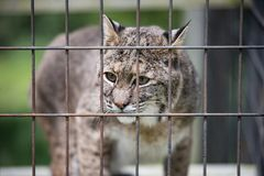 Rescued Bobcat Lynx in Cage. Closeup of Rescued Bobcat Lynx in Cage eyes looking through bars stock photos