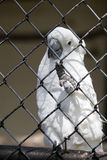 Rescued, Caged Cockatoo Royalty Free Stock Image