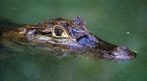 Caiman alligator in Costa Rica in the jungle Royalty Free Stock Photography