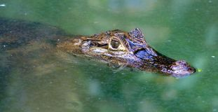 Caiman alligator in Costa Rica in the jungle Stock Photography