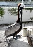 A Rescued Eastern Brown Pelican. This is a picture of a rescued Eastern Brown Pelican at the Seaside Seabird Sanctuary located in Indian Shores, Florida in royalty free stock images