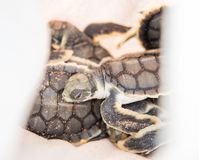 Rescued Flatback Sea Turtles. View of tiny, rescued flatback sea turtle hatchlings piled in bag on Bare Sand Island in the Northern Territory of Australia royalty free stock photo