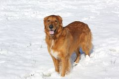 Rescued Golden Retriever Dog standing in snow. Rescued large golden retriever dog standing in snow smiling with small grass shoots Royalty Free Stock Images