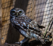 Rescued Little Owl Stock Photo