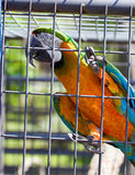 Rescued Macaw in Cage Royalty Free Stock Photo