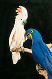 Rescued parrots. A moluccan cockatoo and a hyacinth macaw rescued parrots perch on braches at a rescue center royalty free stock photos
