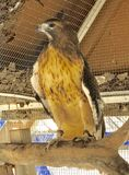 Rescued Red-Tail. This is a picture of a rescued Black-crowned Night Heron at the Seaside Seabird Sanctuary located in Indian Shores, Florida in Pinellas County stock photo