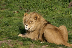 The rescued Romanian Lions Royalty Free Stock Images