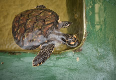 Rescued Sea Turtle. In tank At a Sea Turtle Conservation Project, Kosgoda, Sri Lanka. Copy space on right and bottom Royalty Free Stock Photo