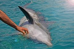 The rescued smiling dolphin holds its flippers with human hands. Sea dolphin Conservation Research Project in Eilat, Israel. Saving animals, trusting and stock photo