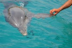The rescued smiling dolphin holds its flippers with human hands. Sea dolphin Conservation Research Project in Eilat, Israel. Saving animals, trusting and stock image