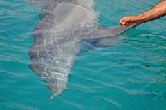 Rescued smiling young dolphin holds its flippers with human hands. Sea dolphin Conservation Research Project in Eilat, Israel. The rescued smiling dolphin holds royalty free stock image
