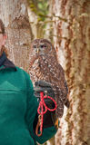 Rescued Spotted Owl on Handler. This rescued spotted owl Strix occidentalis, is blind in one eye and is on the hand of it's handler. Rare night bird that resides stock photography