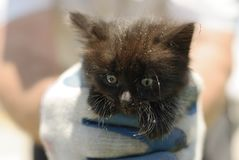 Rescued Wild Black Kitten. This black kitten was rescued from a storm drain. He is now living the life of luxury with several other cats. If his meow had not Royalty Free Stock Photography