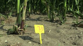 Research field science maize corn Zea mays, drought resistance samples, breeding varieties for genetic modification of. The gene, drying up the soil, climate stock video footage
