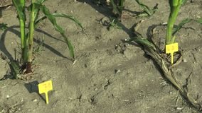 Research field science maize corn Zea mays, drought resistance samples, breeding varieties for genetic modification of. The gene, drying up the soil, climate stock video