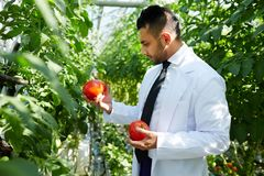 Research in hothouse. Young hothouse staff in uniform holding ripe tomatoes and learning their characteristics stock photo