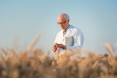 Researcher doing field test on new kinds of grain and wheat Stock Photos