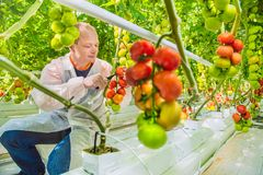 Working in greenhouse. Researcher in greenhouse examines the growth of tomatoes Stock Photos
