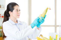 Researcher and microscope with a GMO corn Royalty Free Stock Photo