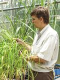 Researcher in plots with sugar cane. Priracicaba, Sao Paulo, Brazil, January 12, 2005. Researcher analyzes plots with sugarcane experiments within the Genetic Stock Photos
