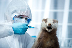 Researcher in protective suit and badger Royalty Free Stock Images