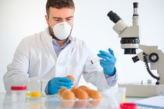 Fresh egg sample quality control in laboratory microscope about avian flu. Researcher wearing white coat analyzing quality of GMO eggs sample , main focus on man Royalty Free Stock Photo