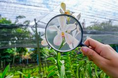 Researchers are taking magnifying glass to shine White orchids. Researchers are taking a magnifying glass to shine White orchids royalty free stock images
