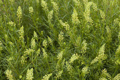 Reseda. Cluster white flower Reseda on meadow Royalty Free Stock Photography