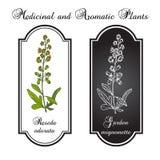 Reseda eller Mignonette, aromatiskt och medicinalväxt Vektor Illustrationer