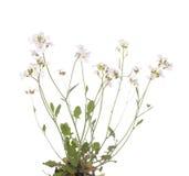 Resedifolia del Cardamine Foto de archivo libre de regalías
