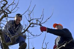 Resen,马其顿 2018年3月10日-农夫修剪苹果树在果树园在Resen, Prespa,马其顿 Prespa是知名的区域  免版税库存照片