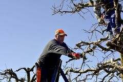 Resen,马其顿 2018年3月10日-农夫修剪苹果树在果树园在Resen, Prespa,马其顿 Prespa是知名的区域  库存图片