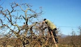 Resen,马其顿 2016年12月3日-农夫修剪苹果树在果树园在Resen, Prespa,马其顿 Prespa是知名的区域 库存图片