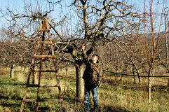 Resen,马其顿 2016年12月3日-年轻农夫修剪苹果树在果树园在Resen, Prespa,马其顿 Prespa是知名的r 免版税库存照片