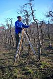 RESEN, MACEDONIA. MARCH 16, 2019- Farmer pruning apple tree in orchard in Resen, Prespa, Macedonia. Prespa is well known region in. Macedonia on producing high royalty free stock image