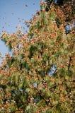 reserv för biosfärfjärilsmexico monark Arkivbilder